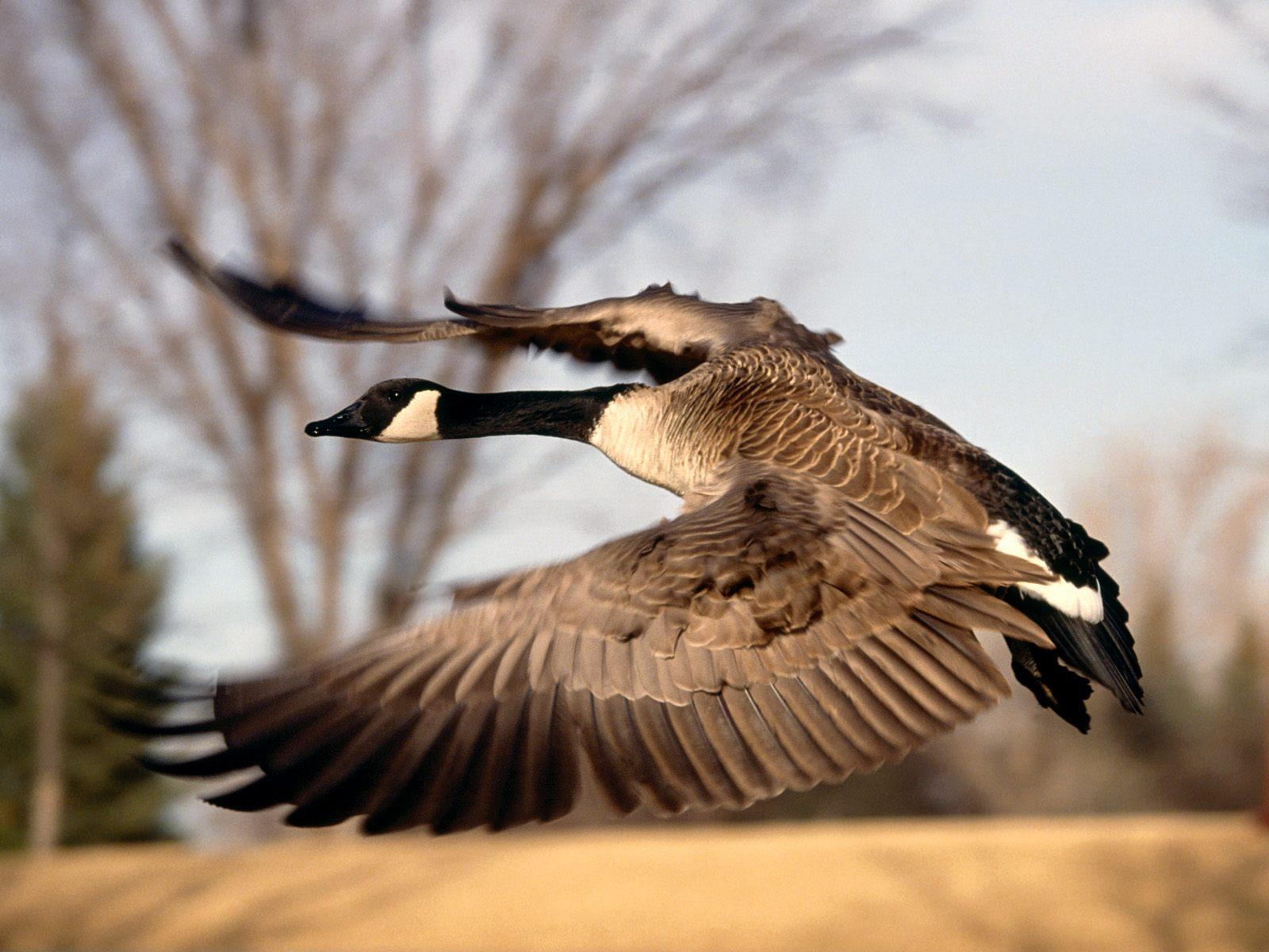 Geese-HD-Wallpapers-1