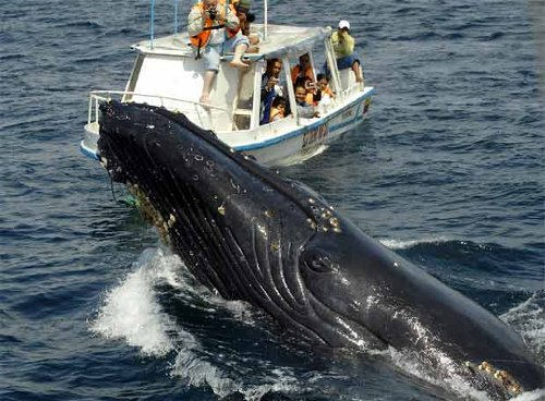 Humpback whale watching is enjoyed by a relatively small amount of national and foreign tourists that take advantage of their trips to Colombia