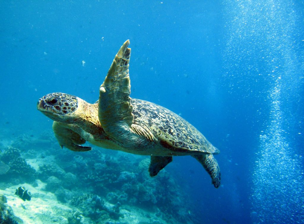 Turtle swimming in the ocean near Sipadan Island