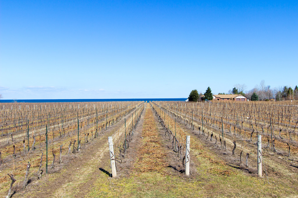 Rows of grape trees planted at Konzelmann Vineyard